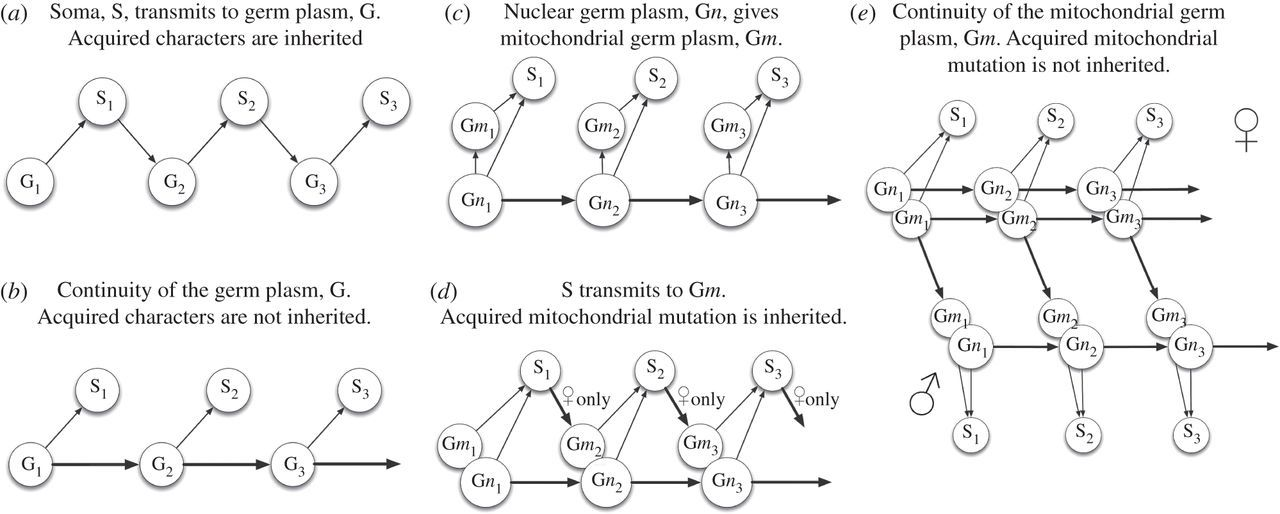 Energy Ageing Fidelity And Sex Oocyte Mitochondrial Dna