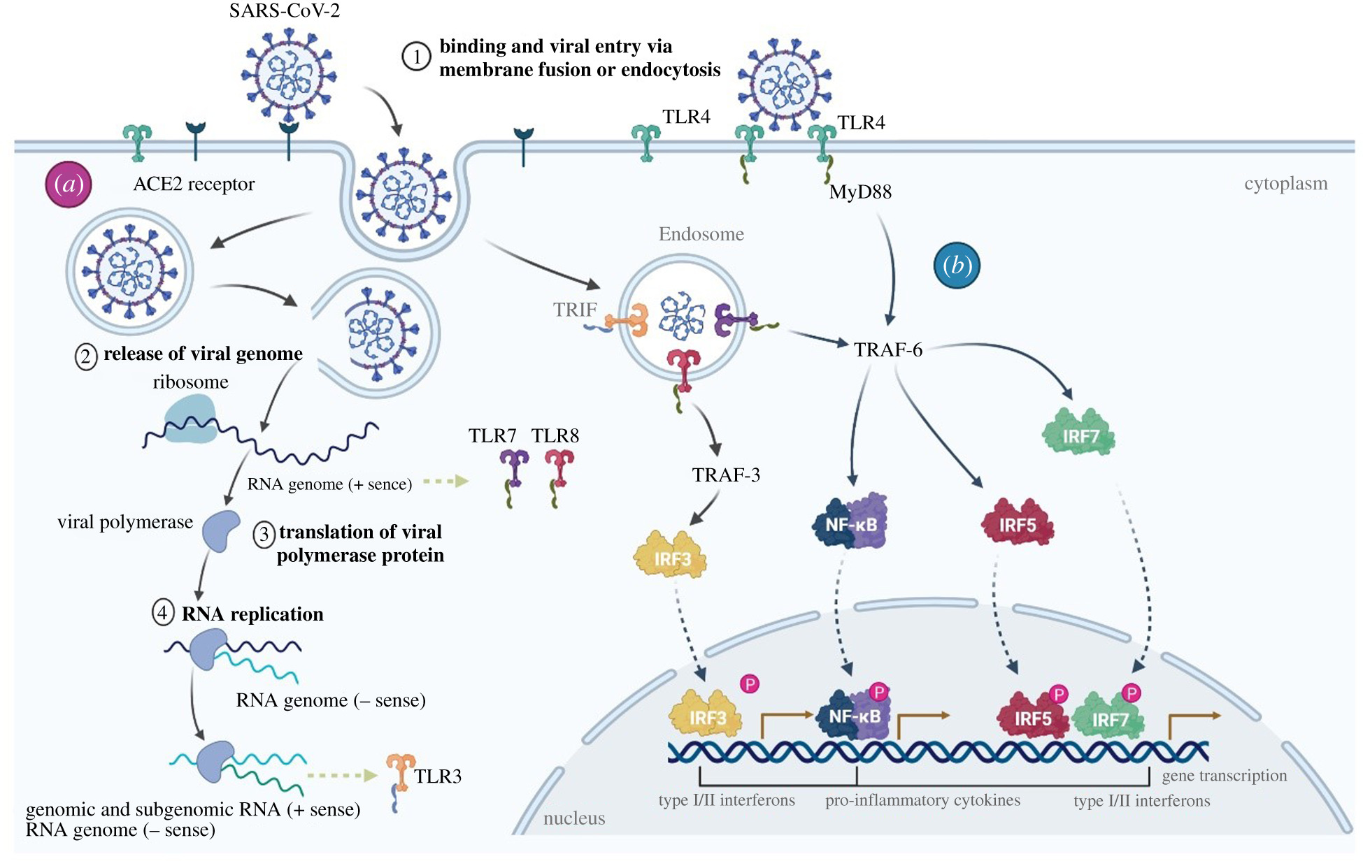 Cytokine storm and COVID-19: a chronicle of pro