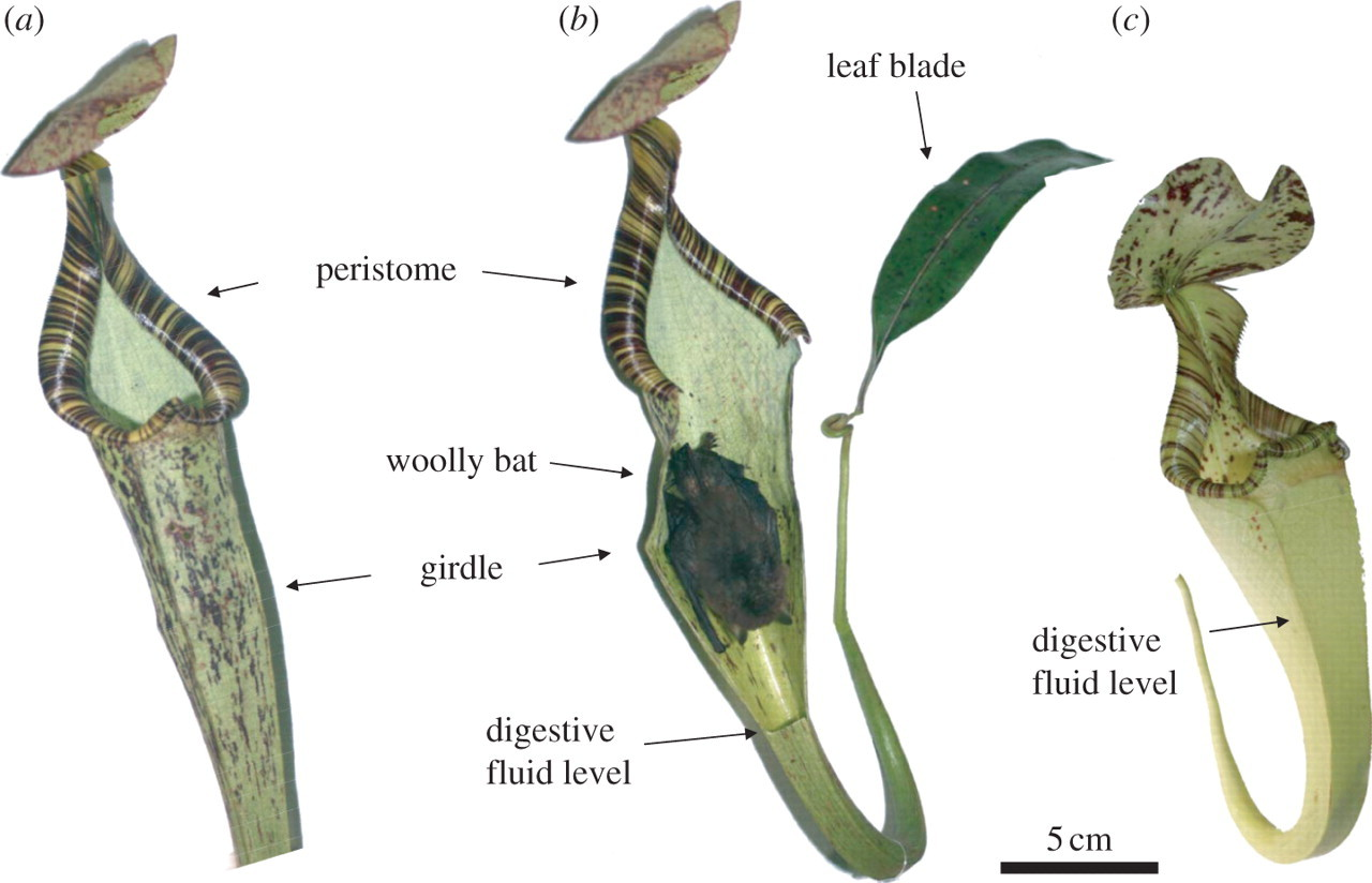 A novel resource–service mutualism between bats and pitcher plants |  Biology Letters