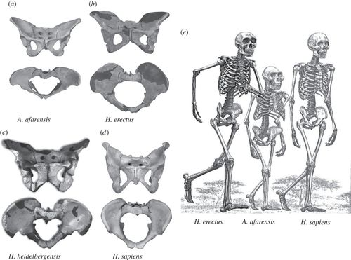 one half of female pelvic bone diagram the evolution of the human pelvis changing adaptations to  the evolution of the human pelvis