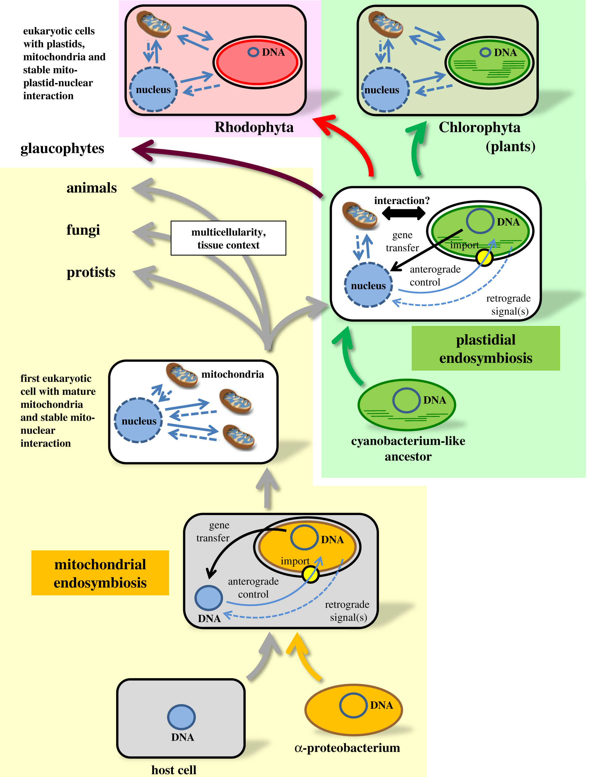 Retrograde Signals From Endosymbiotic Organelles A Common Control Principle In Eukaryotic Cells Philosophical Transactions Of The Royal Society B Biological Sciences