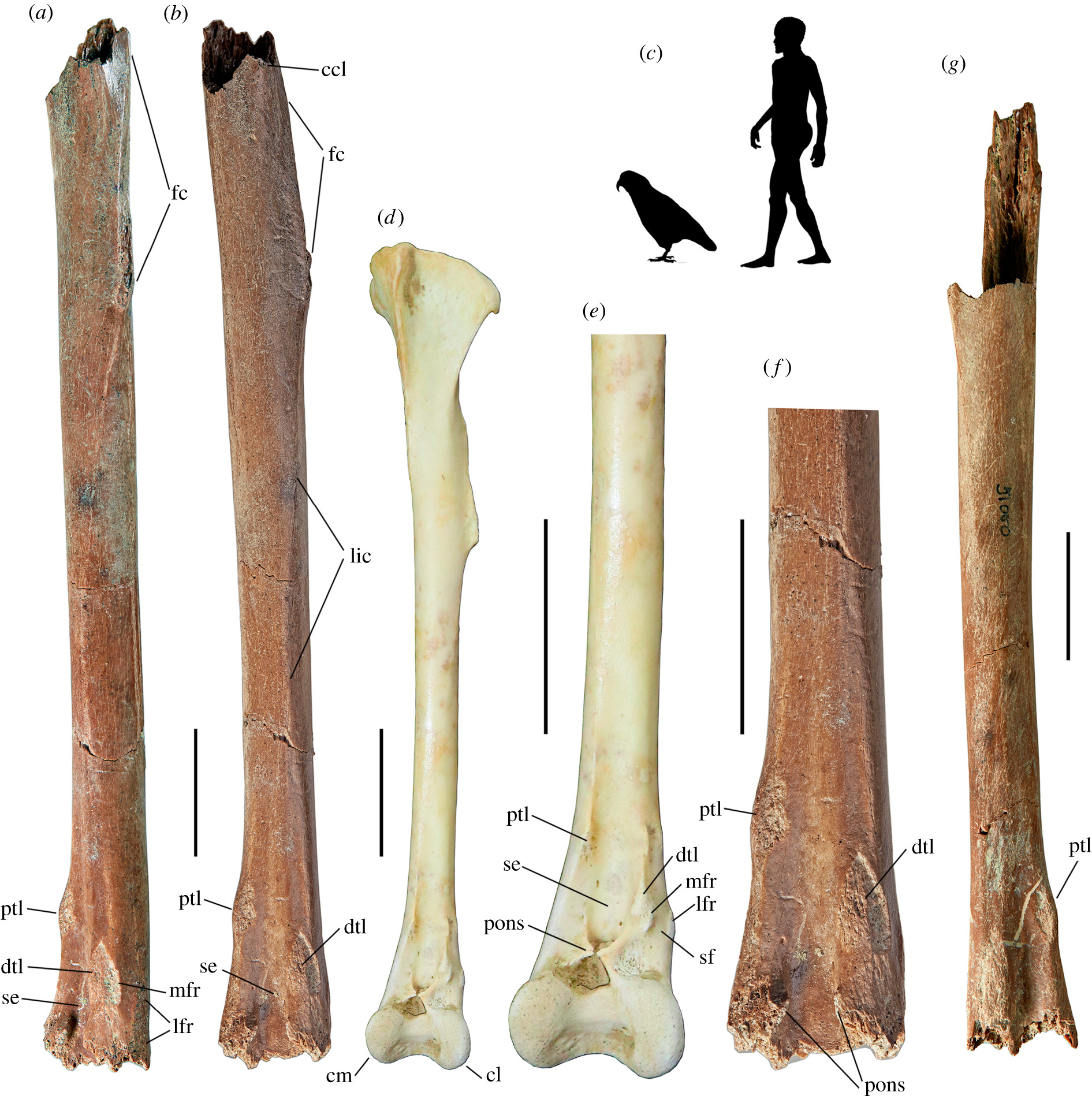 Evidence For A Giant Parrot From The Early Miocene Of New Zealand Biology Letters
