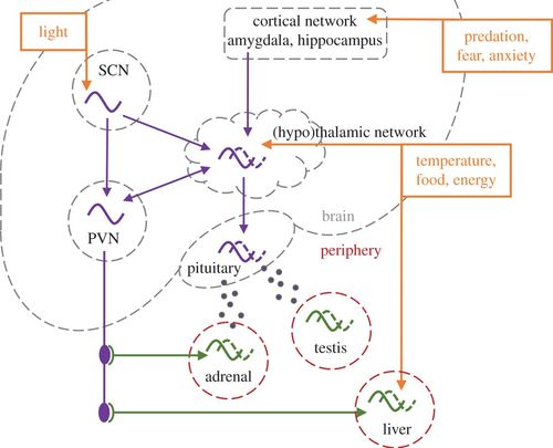 Flexible clock systems: adjusting the temporal programme