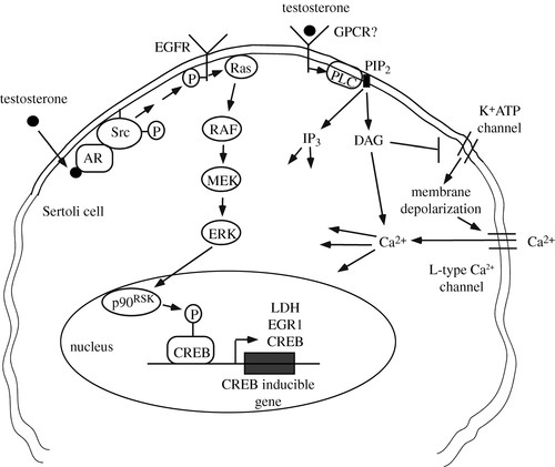 Non-classical actions of testosterone and spermatogenesis