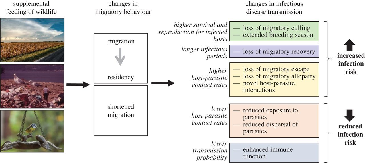Responses of migratory species and their pathogens to