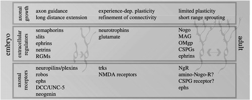 Extracellular regulators of axonal growth in the adult central
