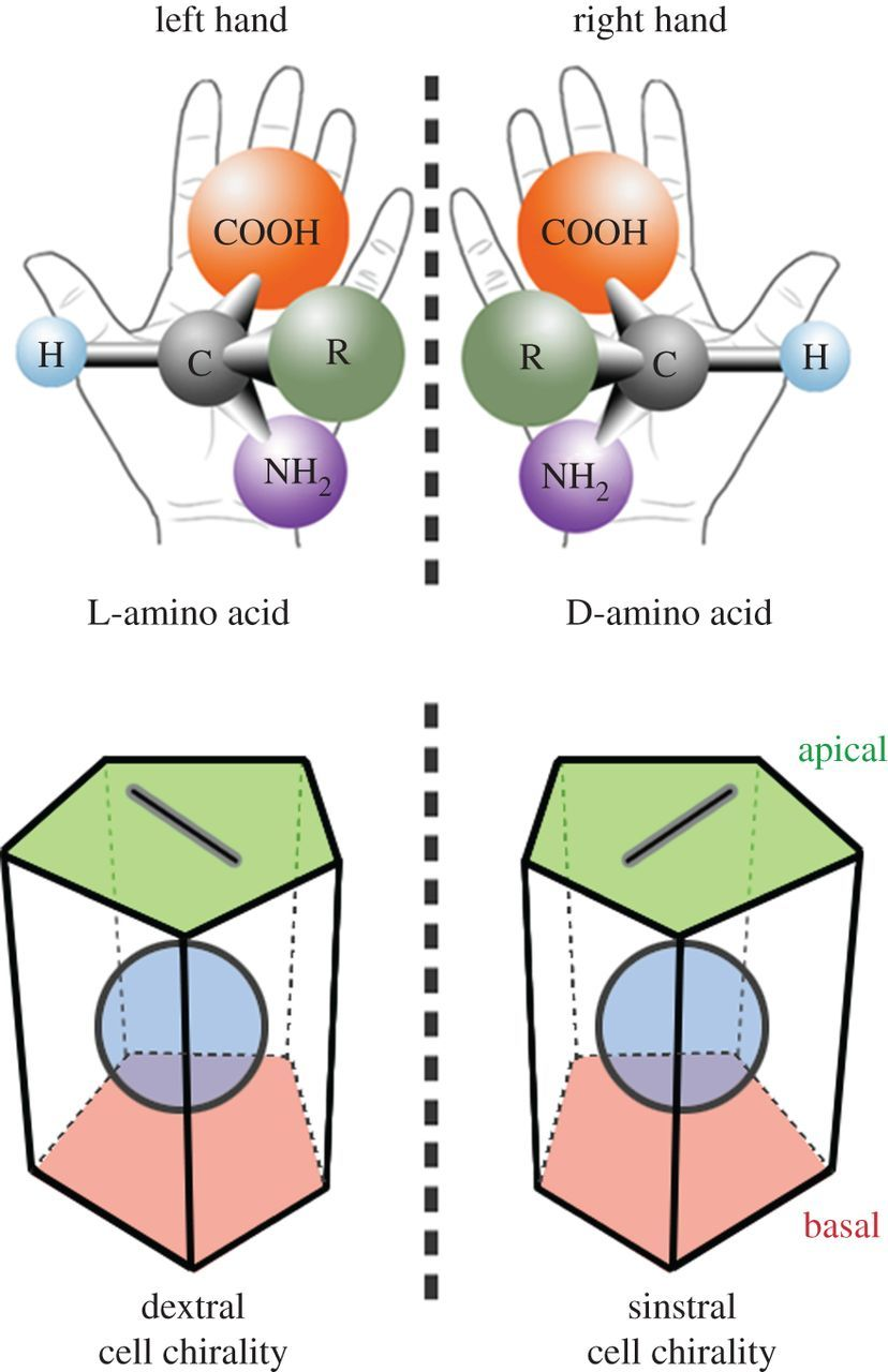 Cell Chirality  Its Origin And Roles In Left U2013right
