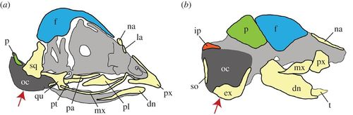 Homology of the cranial vault in birds: new insights based