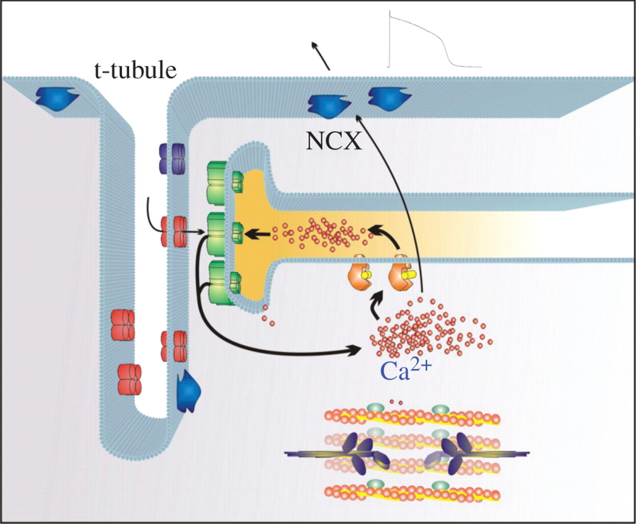 The structure and function of cardiac t-tubules in health and