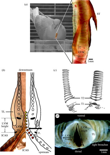 Biomechanics and control of vocalization in a non-songbird