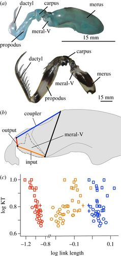 the mantis shrimp's four-bar linkage system exhibits functional redundancy  at a composite level of analysis and mechanical sensitivity when analysed  at the