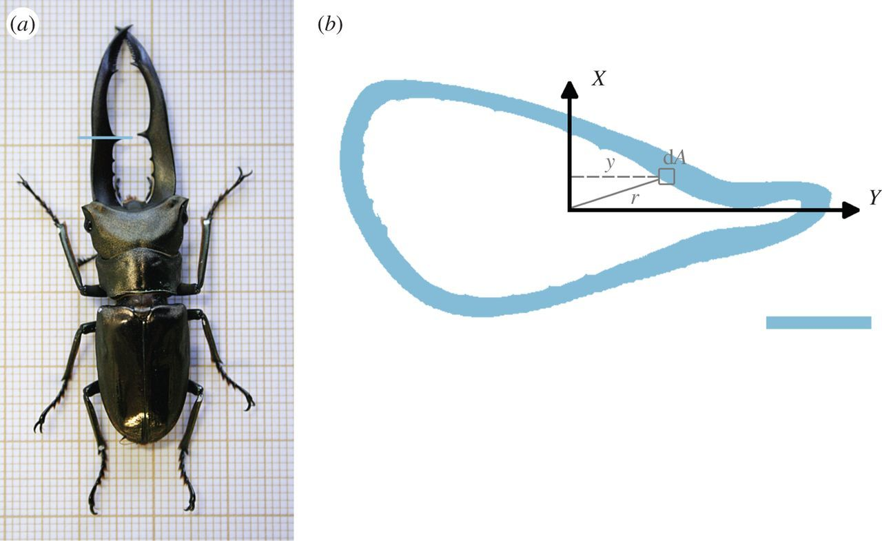 Role Of Stag Beetle Jaw Bending And Torsion In Grip On Rivals Diagram Related Keywords Suggestions Long Download Figure