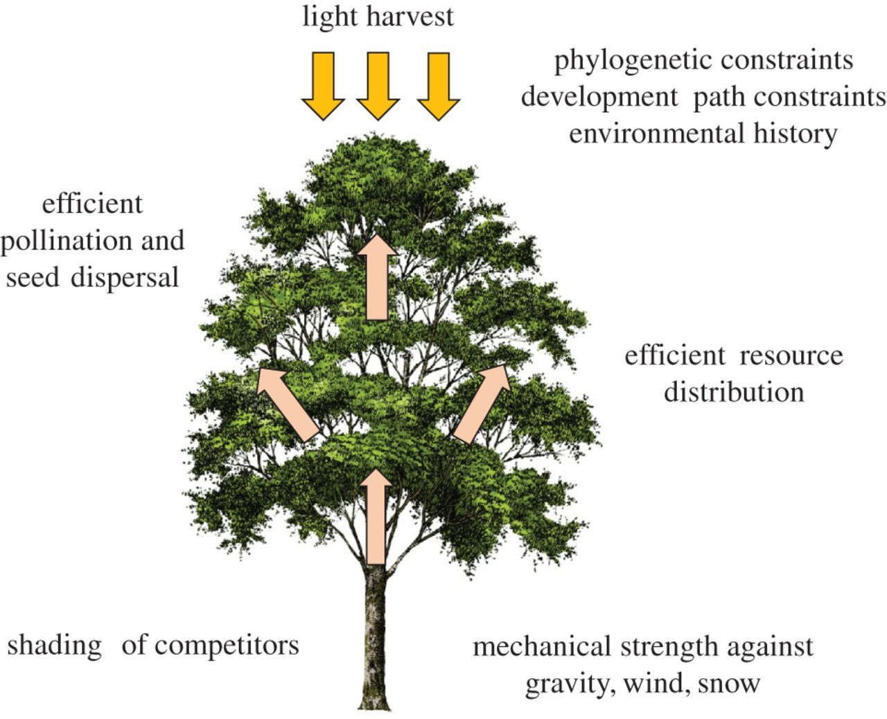 New perspectives on the ecology of tree structure and tree