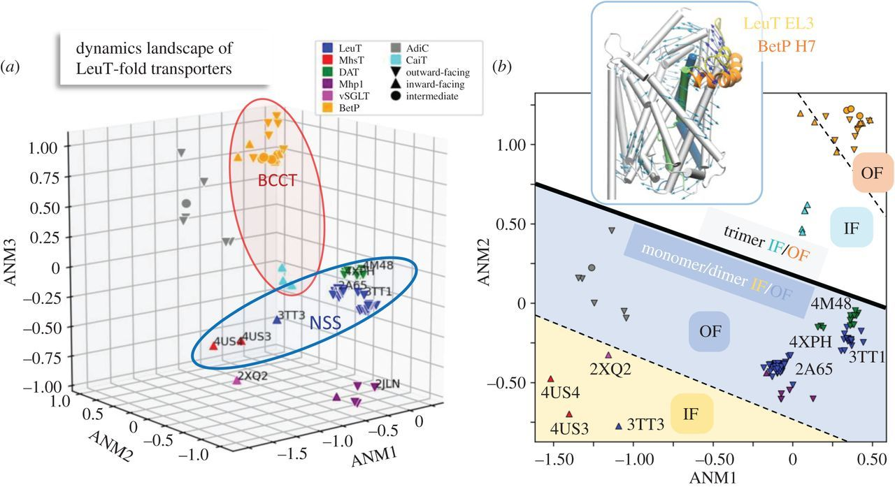 Shared dynamics of LeuT superfamily members and allosteric