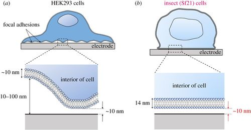 Increasing cell–device adherence using cultured insect cells