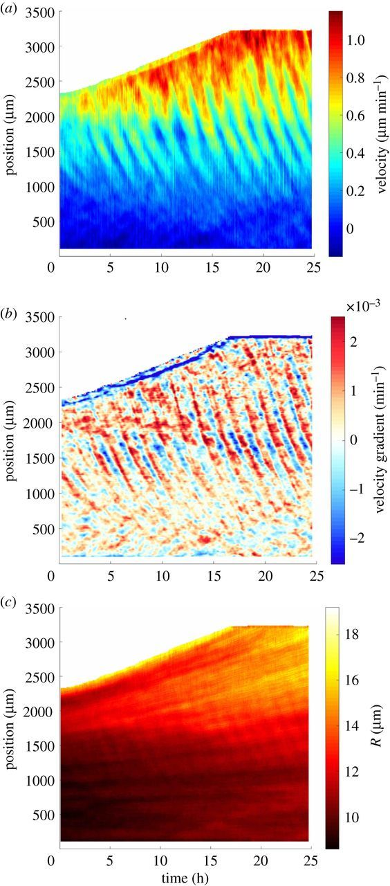 Collective cell migration without proliferation: density