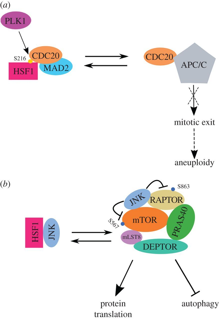 The heat-shock, or HSF1-mediated proteotoxic stress, response in