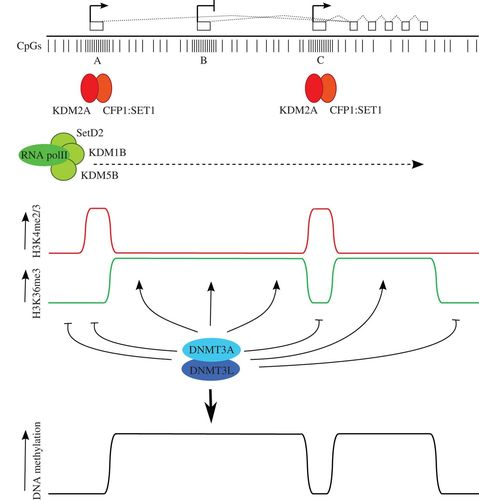 New insights into establishment and maintenance of DNA