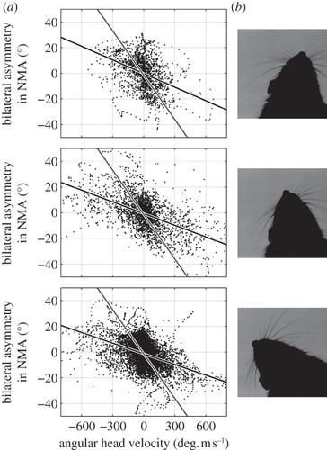 Active vibrissal sensing in rodents and marsupials