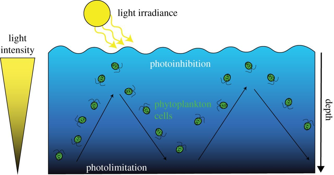 How do microalgae perceive light in a high-rate pond? Towards more