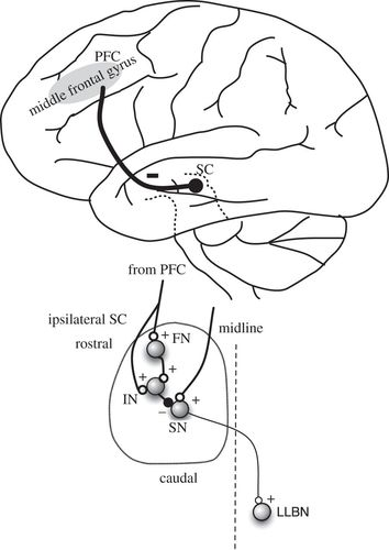 Control Of The Superior Colliculus By The Lateral Prefrontal Cortex