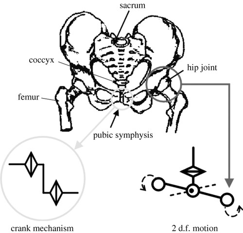 Locomotion Pattern Generation And Mechanisms Of A New Biped Walking