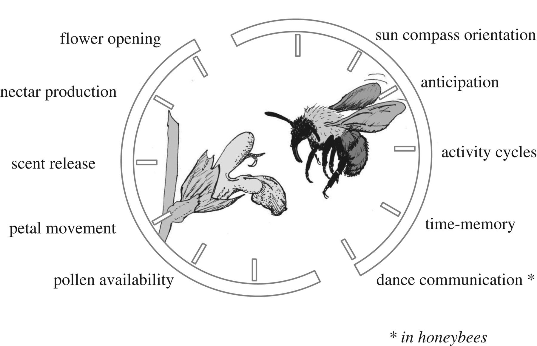 Time is honey: circadian clocks of bees and flowers and how