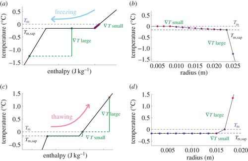 Multiscale model of a freeze–thaw process for tree sap