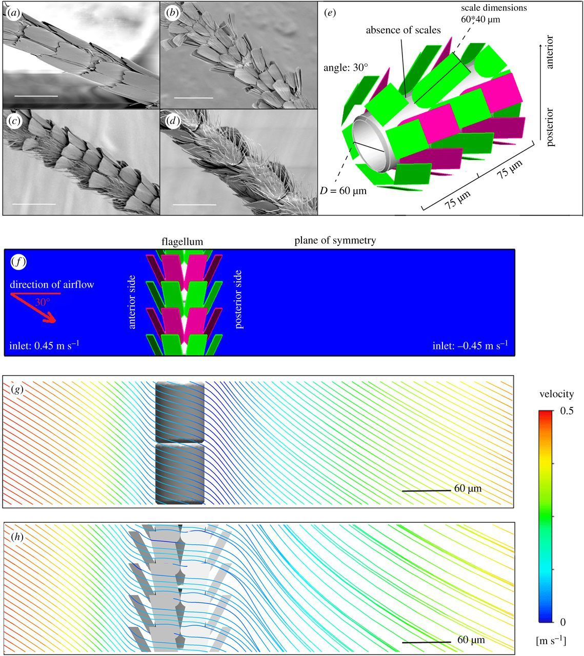 Antennal scales improve signal detection efficiency in moths