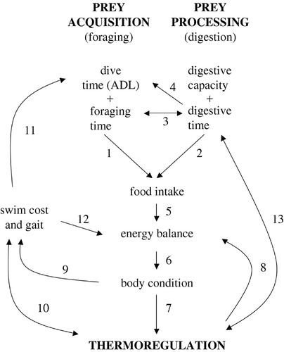 Thermal and digestive constraints to foraging behaviour in marine