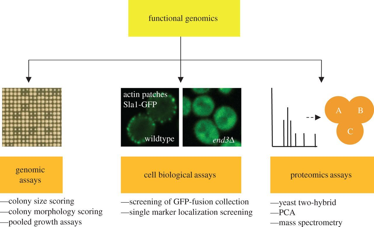 Functional genomics in the study of yeast cell polarity