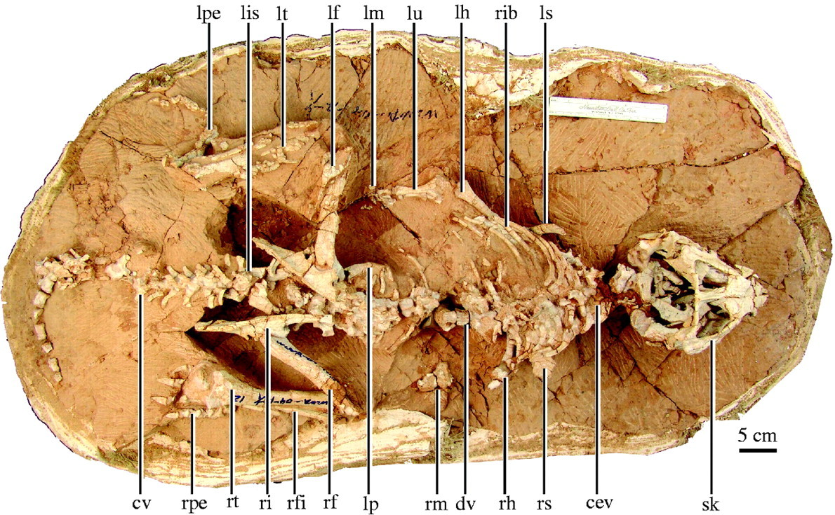 a basal ceratopsian with transitional features from the
