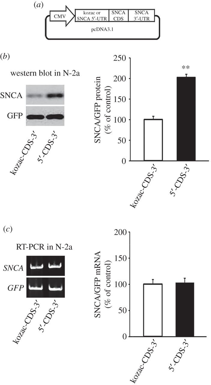 Constitutive translation of human α-synuclein is mediated by