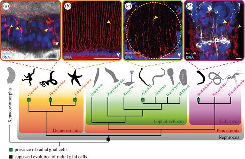 Early evolution of radial glial cells in Bilateria