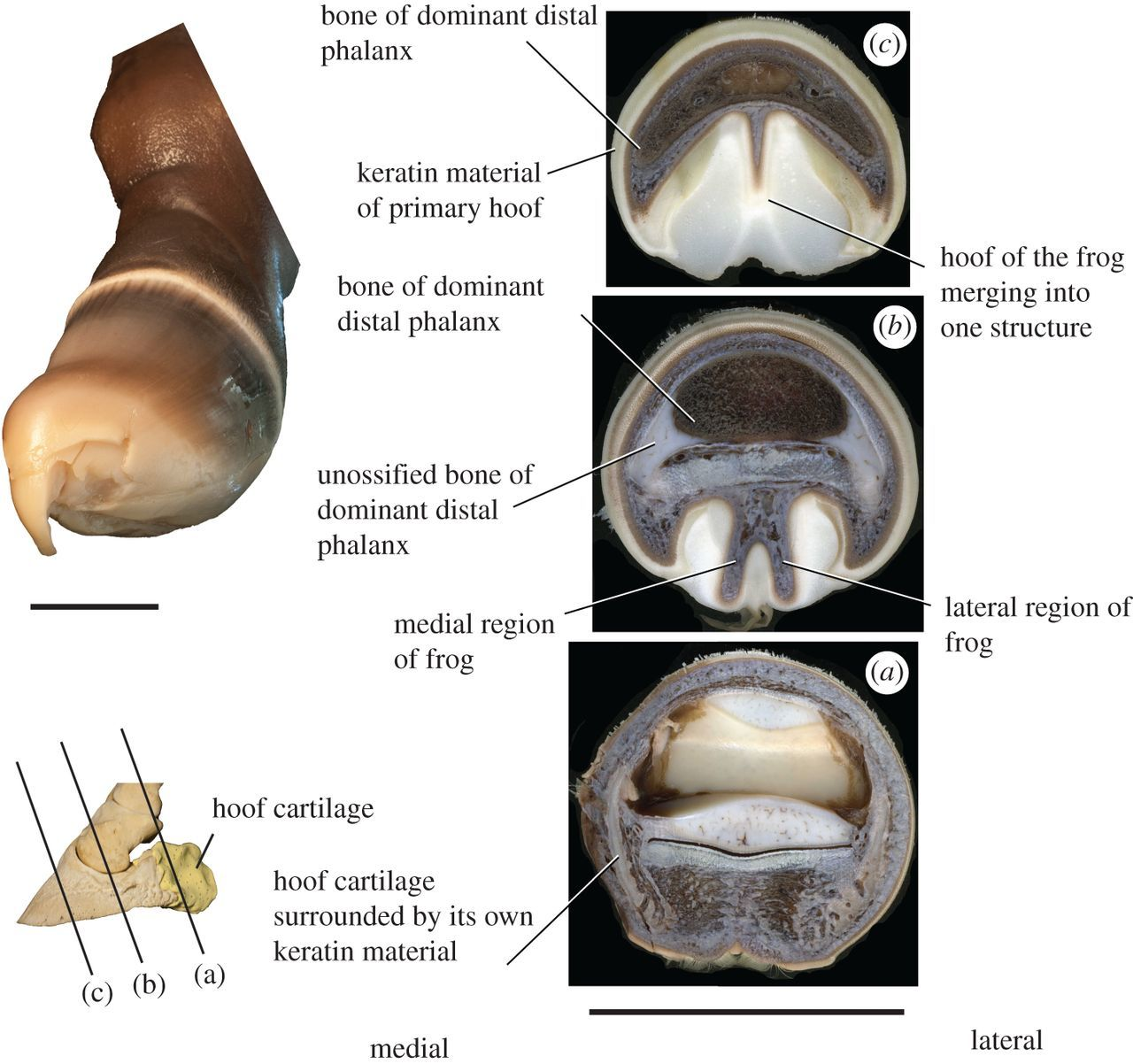 The evolution and anatomy of the horse manus with an emphasis on