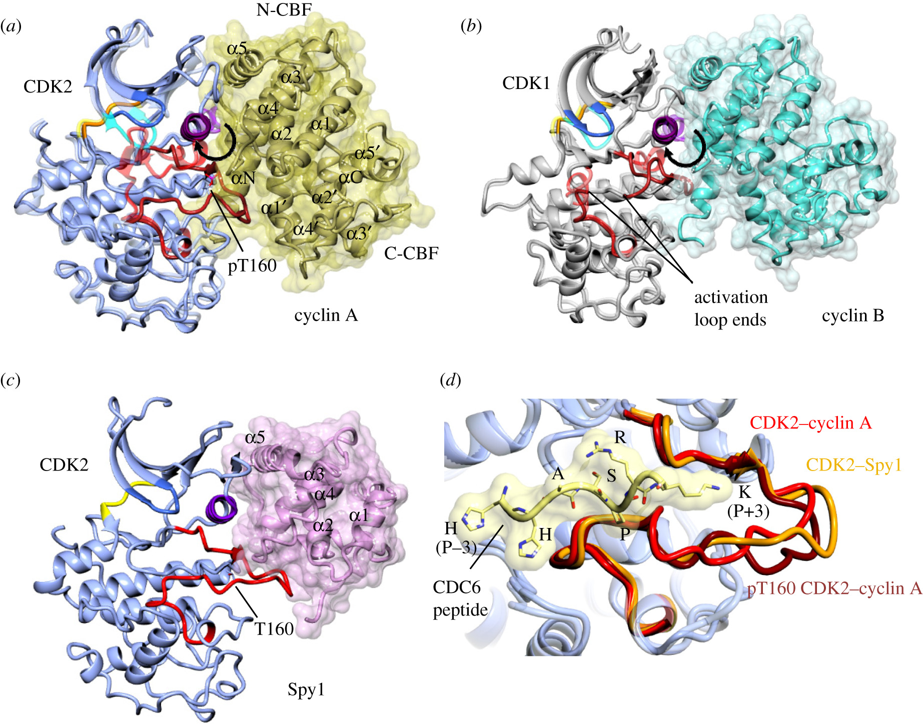Structural insights into the functional diversity of the CDK–cyclin