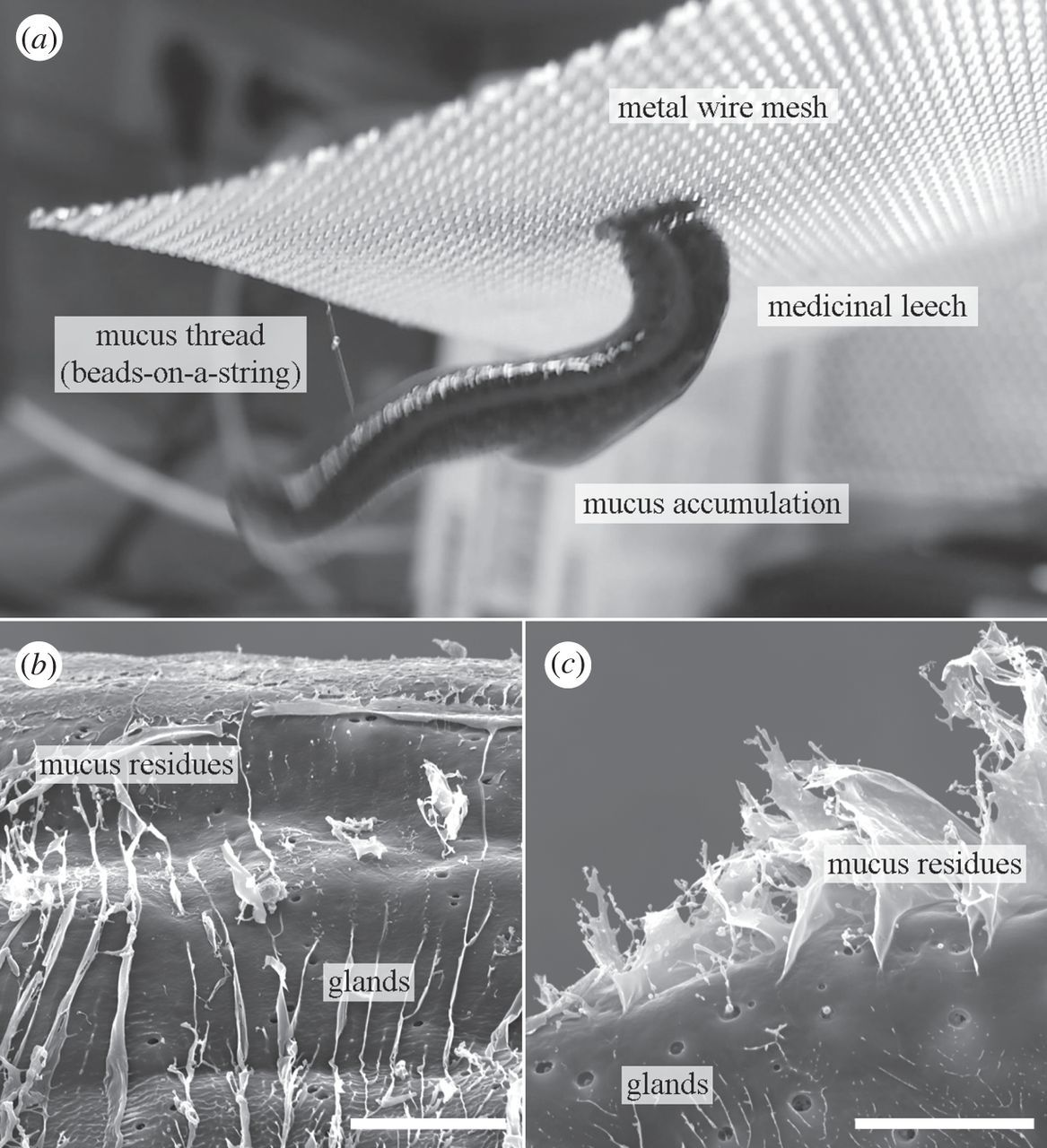 Functional morphology of suction discs and attachment performance of