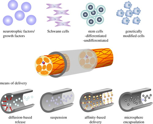 A biomaterials approach to peripheral nerve regeneration