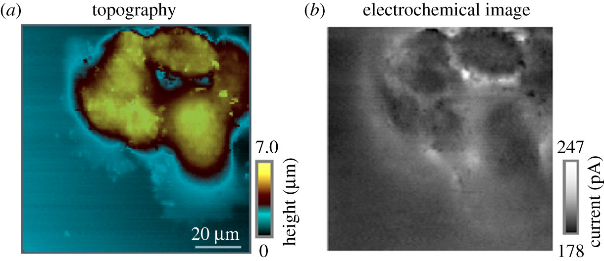 Biological imaging with scanning electrochemical microscopy