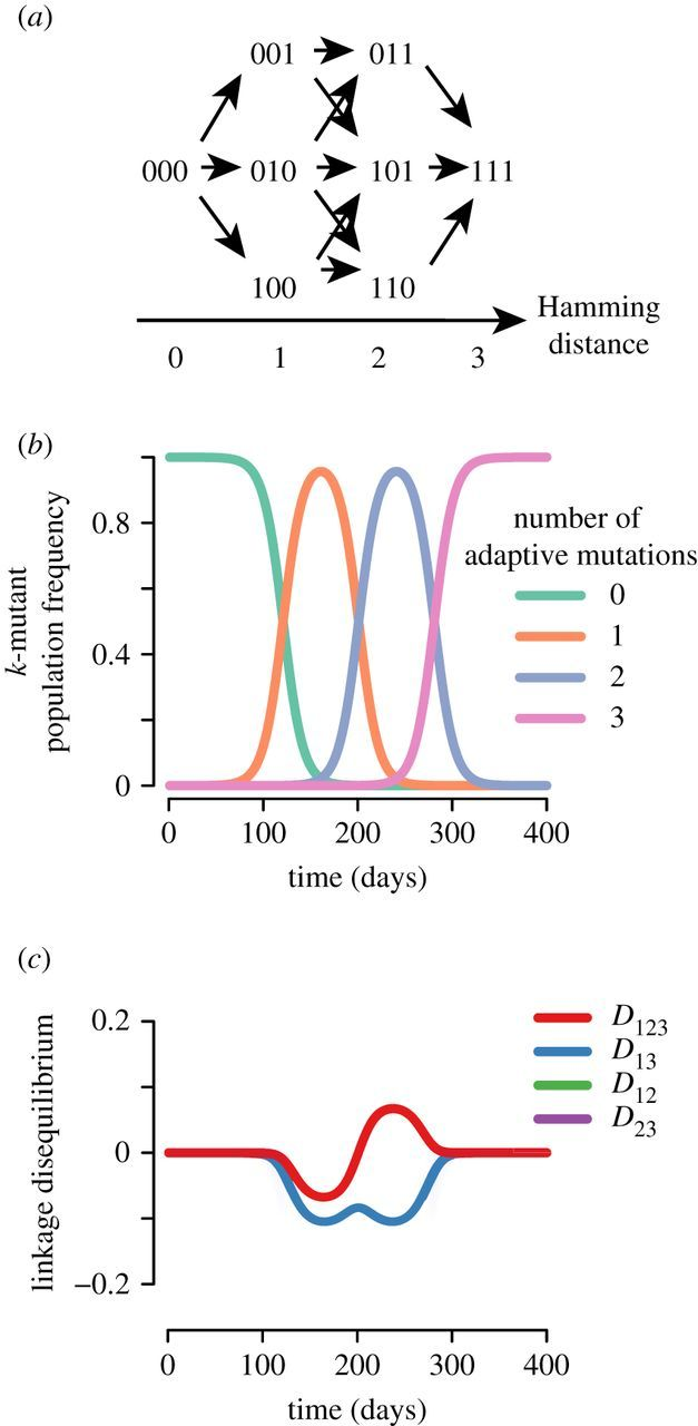 Clonal interference can cause wavelet-like oscillations of
