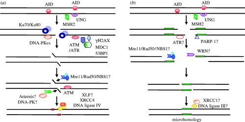 Non-homologous end joining in class switch recombination: the