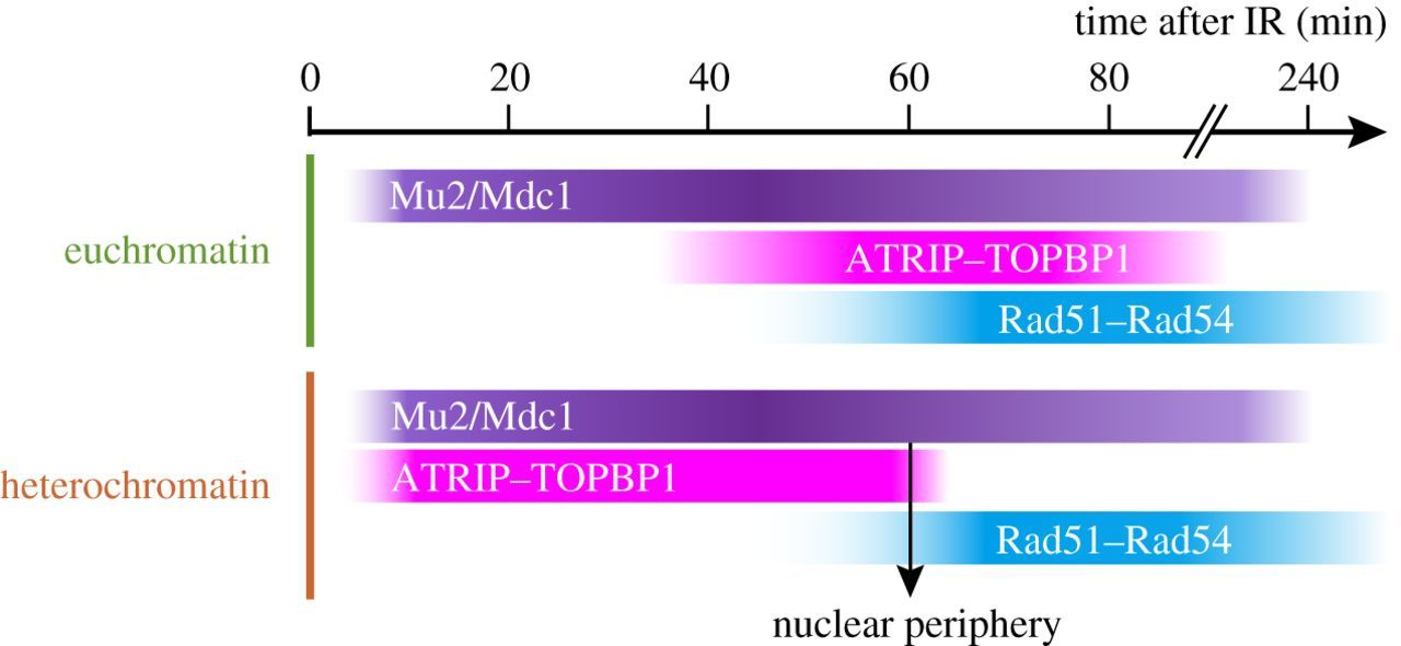 And yet, it moves: nuclear and chromatin dynamics of a