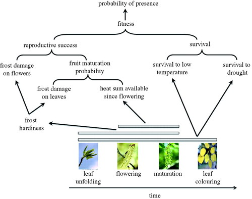 Why does phenology drive species distribution