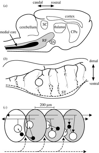 The Brainstem Reticular Formation Is A Small World Not Scale Free