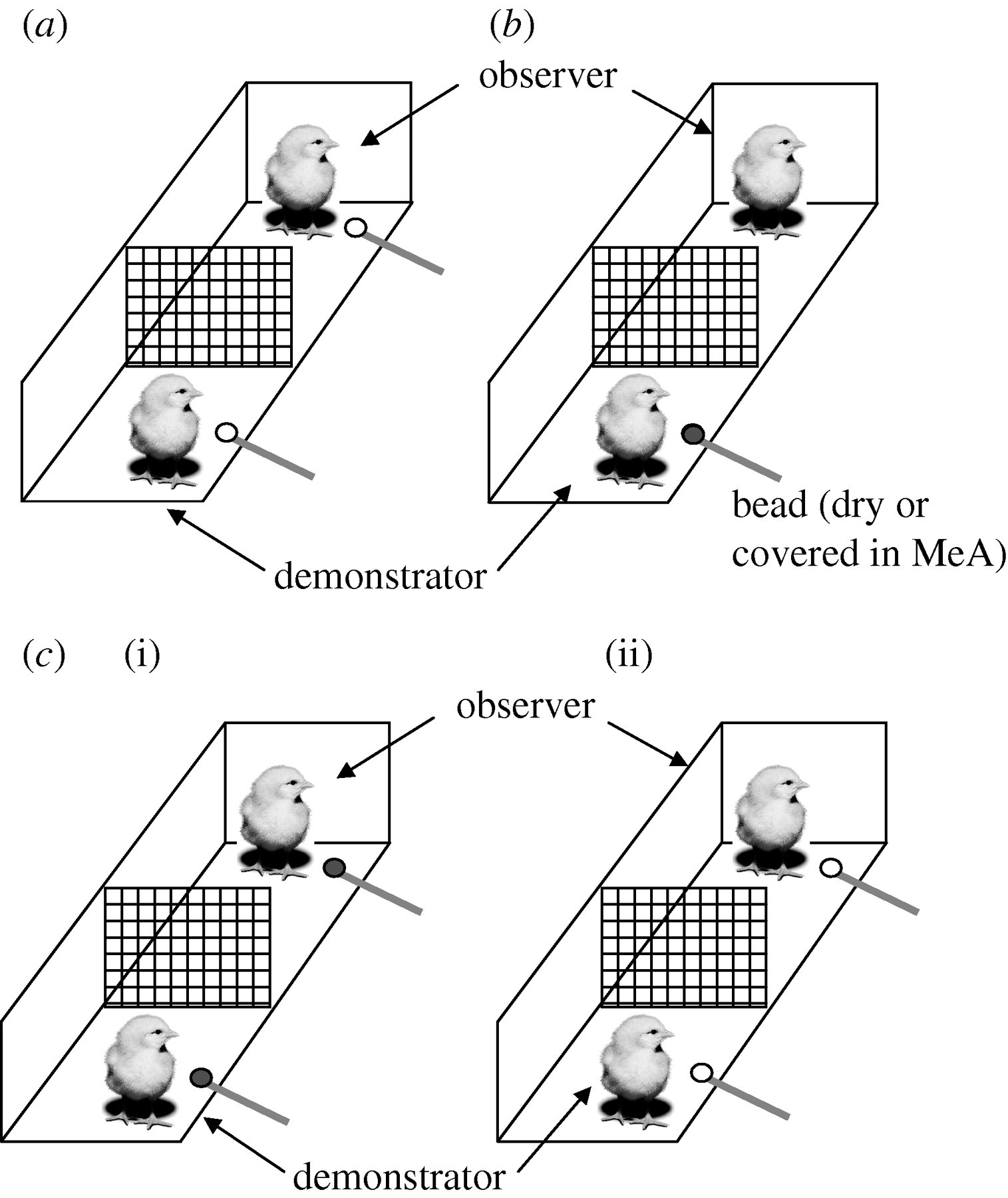 Lateralization of social cognition in the domestic chicken