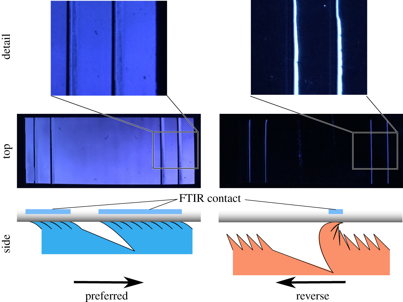Spatially variant microstructured adhesive with one-way friction