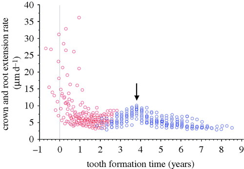 Retrieving chronological age from dental remains of early