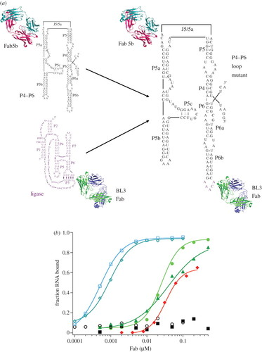 Crystal Structure Of An Rna Polymerase Ribozyme In Complex With An