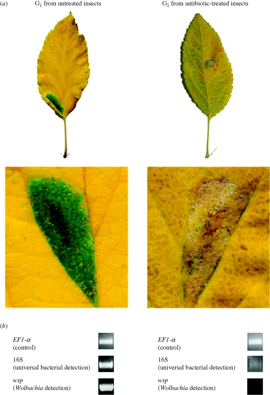 Plant green-island phenotype induced by leaf-miners is
