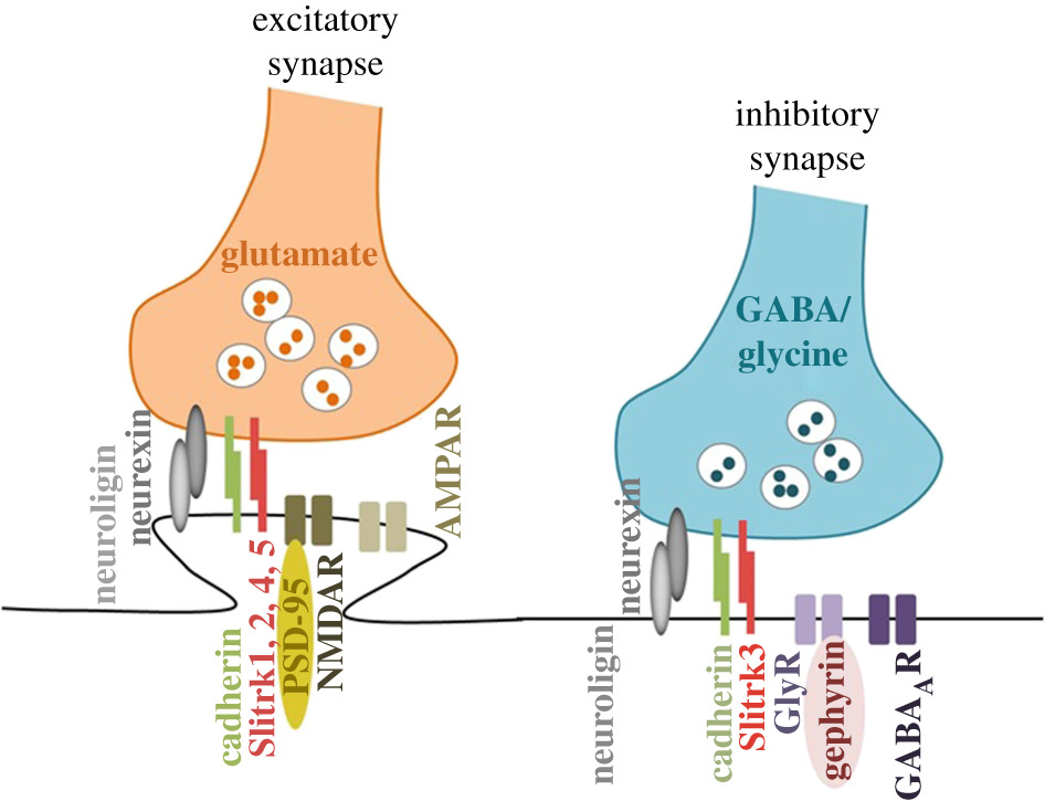 Synaptic dysfunction in neurodegenerative and